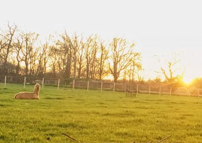 Alpaca in field